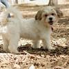 LUCAS (new pup, Bijon mix) FIX