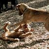 LUCAS & DUFFY (pups) 2