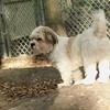 LUCAS (new pup, Bijon mix) FIX 3