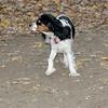 General (spaniel puppy)_00001