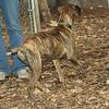 Coco, (pup boxer)_00002