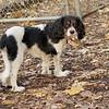 General (spaniel puppy)_00002