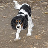 General (spaniel puppy)_00003