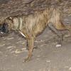 Coco, (pup boxer)_00001