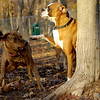 Boots (boxer), Maggie ( pup girl)_00003