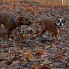 Boots (boxer), Maggie ( pup girl)_00007