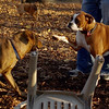 Boots (boxer), Maggie ( pup girl)_00001