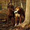 Boots (boxer), Maggie ( pup girl)_00002