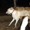 Bailey (younger), Buddy (shepherd)_00001