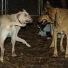 Bailey (younger), Buddy (shepherd)_00003