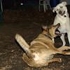 Bailey (younger), Buddy (shepherd)_00004