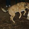Bailey (younger), Buddy (shepherd)_00005