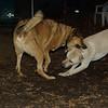 Bailey (younger), Buddy (shepherd)_00006