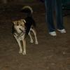 Maddie, Buddy (shepherd)_00001