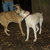 Bailey (younger), Buddy (shepherd)_00009