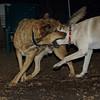 Bailey (younger), Buddy (shepherd)_00007