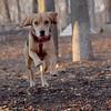 Daisy (beagle puppy)_00001