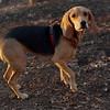 Daisy (beagle puppy)_00002