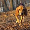 Daisy (beagle puppy)_00003