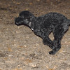 DEWEY ( water dog puppy)_00002