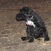 DEWEY ( water dog puppy)_00003