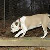 DAISY (bulldog pup visits)_00001