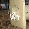 DAISY (bulldog pup visits)_00003