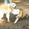 Buddy (bulldog pup), Pumpkin_00002