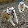 Buddy (bulldog pup), Pumpkin_00003