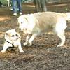 Buddy (bulldog pup), Pumpkin_00001
