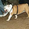 Buddy (bulldog pup)_00003