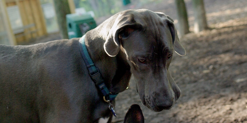 AMOS (great dane pup)_00001