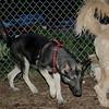 CALI (shepherd pup)_00002