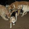 CARLEY (14, beagle)_00005