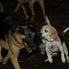 CARLEY (14, beagle)_00006