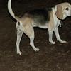 CARLEY (14, beagle)_00001