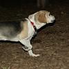CARLEY (14, beagle)_00007