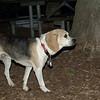 CARLEY (14, beagle)_00003