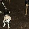 CARLEY (14, beagle)_00002