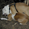 Buddy (bulldog pup), Bubba_00001