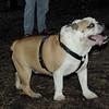 Buddy (bulldog pup)_00002