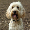 Bailey (goldendoodle)_00003