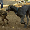 AMOS (great dane pup)_00012