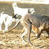 AMOS (great dane pup)_00010