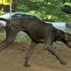 AMOS (great dane pup)_00003