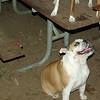 Buddy (bulldog pup), Chloe_00001