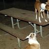 Buddy (bulldog), Shamus, Chloe_00001