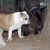 Buddy (bulldog), Harley_00002