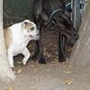 Buddy (bulldog), Harley_00001
