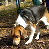 Henri (beagle)_00001